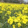 映える黄色いじゅうたん 糠地の菜の花畑見ごろ